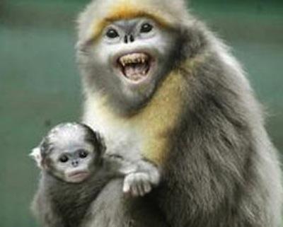 snub nose monkey 2