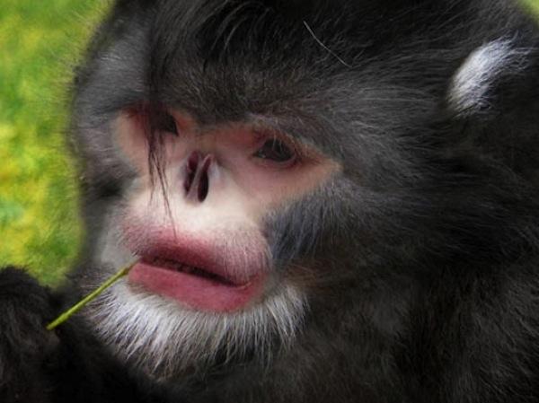 snub nose monkey