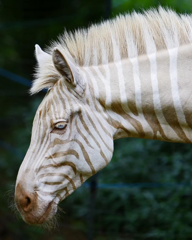 White-Zebra-634x792
